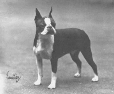boston terrier standard
