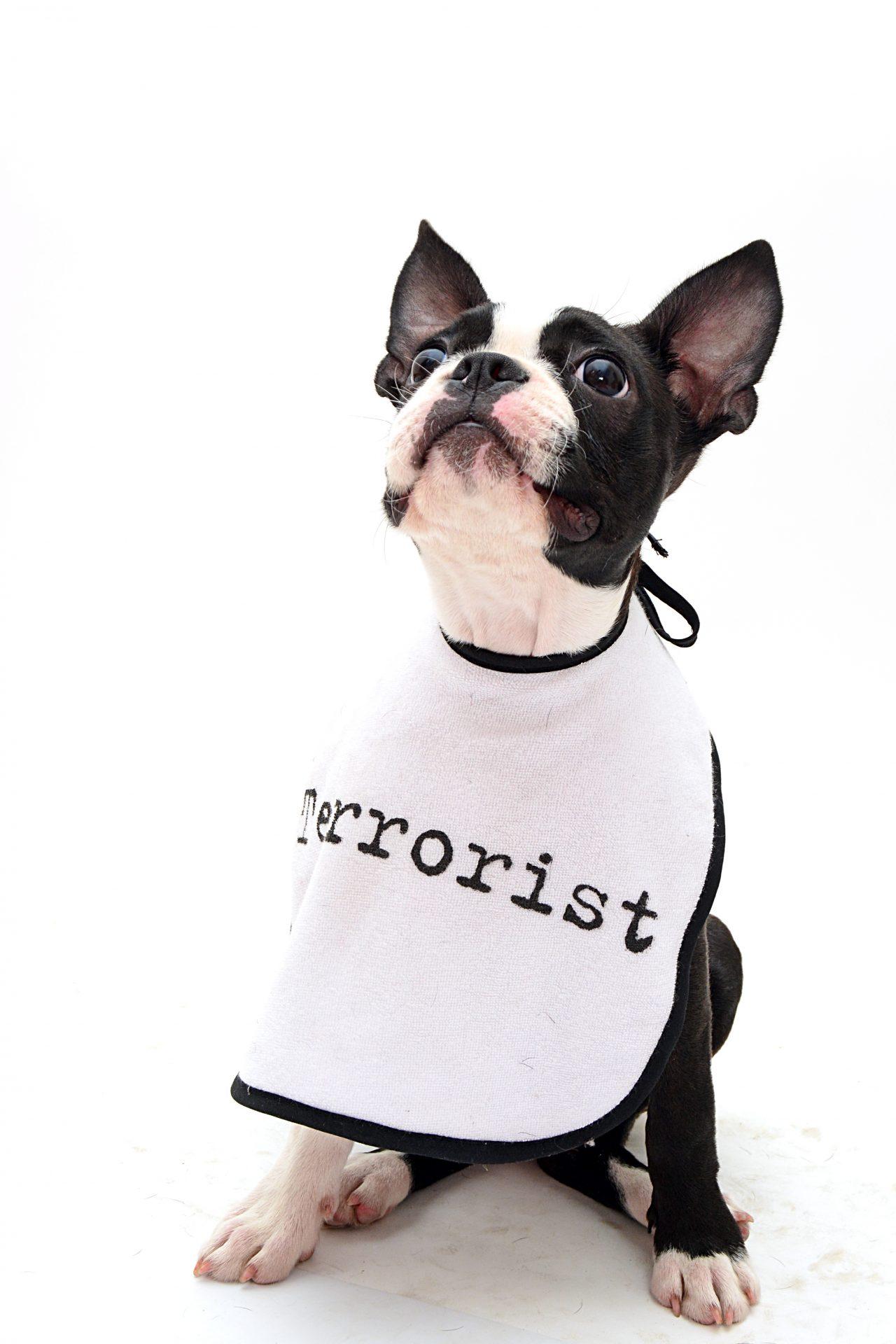 kiskutyák boston terrier the best kennel